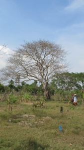 The Ceiba Bonga Tree