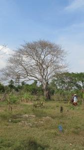 The Ceiba Bonga Tree
