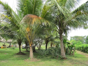 Our lovely coconut palms