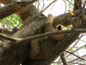 Cute baby sloth at Smithsonian Research Center