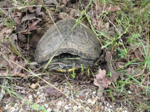 Roadside turtle